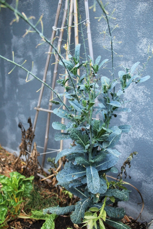 Cavolo Nero - gone to seed