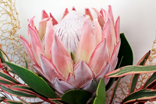 Protea close up