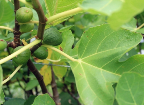 Figs ripenening on the tree