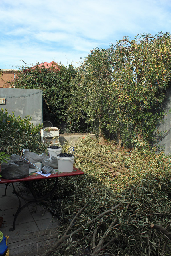 Courtyard during olive harvest