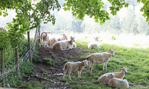Sheep in field in Bibury
