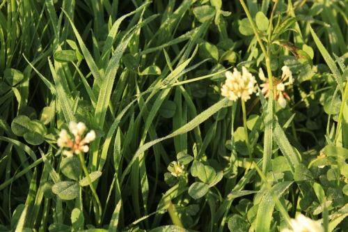 Dew-spangled meadow grass