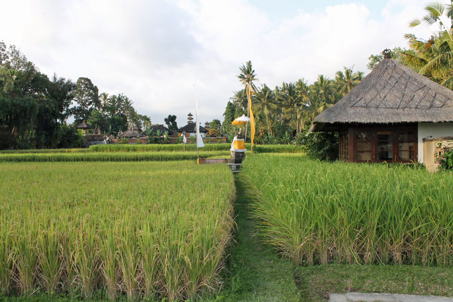 Rice fields Ubud and edge of Villa Vajra