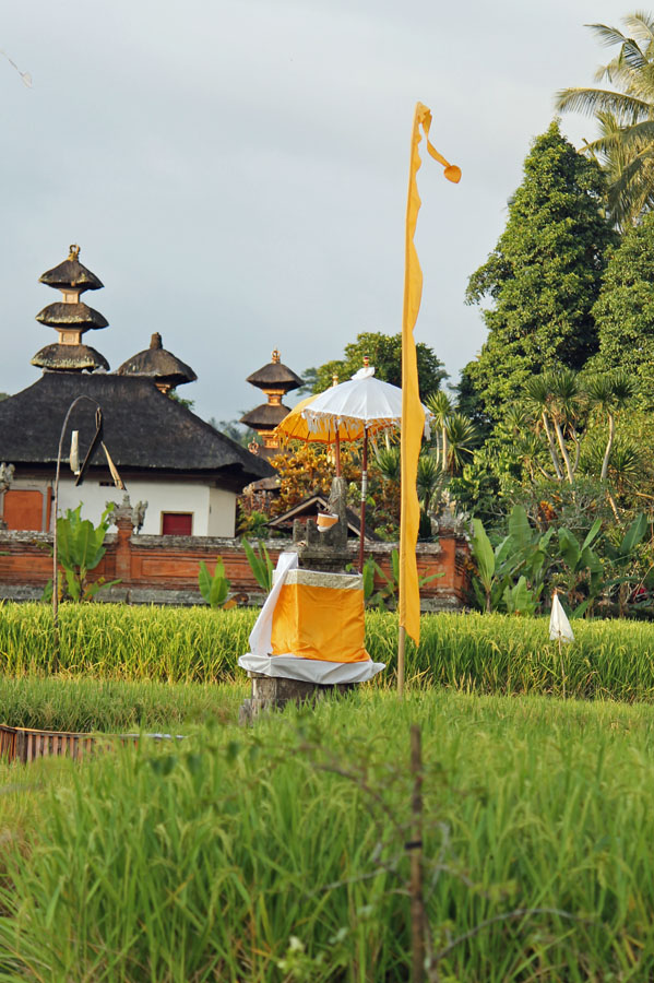 Rice fields Ubud with yellow flags
