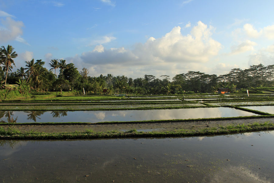 Ricefields near Chedi Ubud