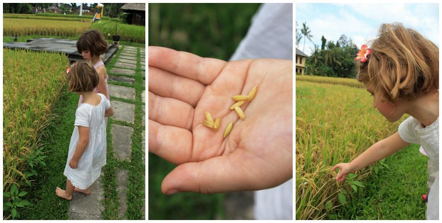 Girls in rice field