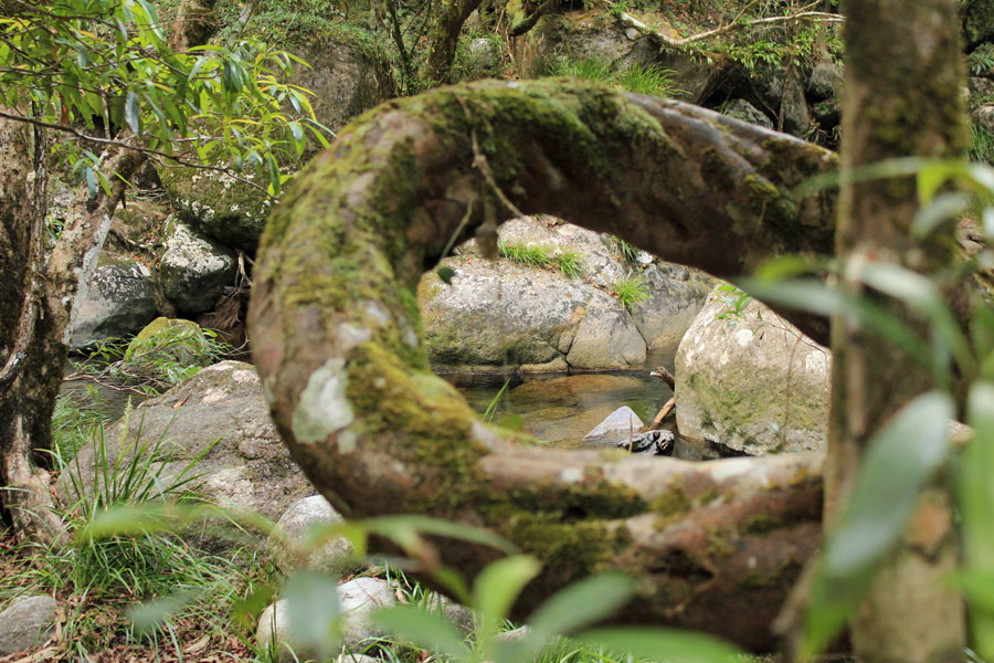 Mossman Gorge through tree