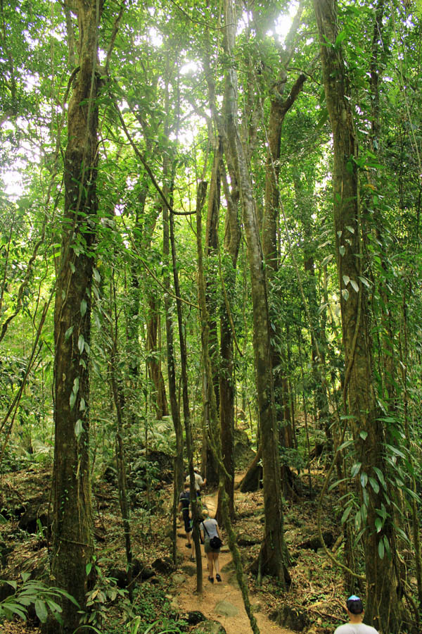 Tall trees in Daintree