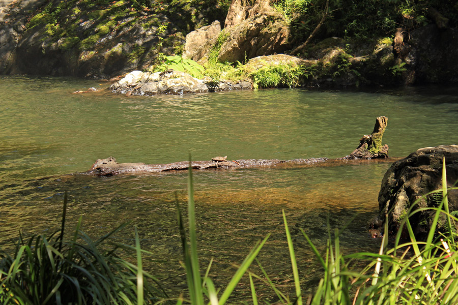 Turtle on a log - Cassowary Falls